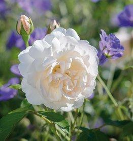 David Austin Lichfield Angel™ English Rose