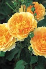 David Austin Molineux™ English Rose