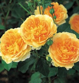 David Austin Molineux™ English Rose