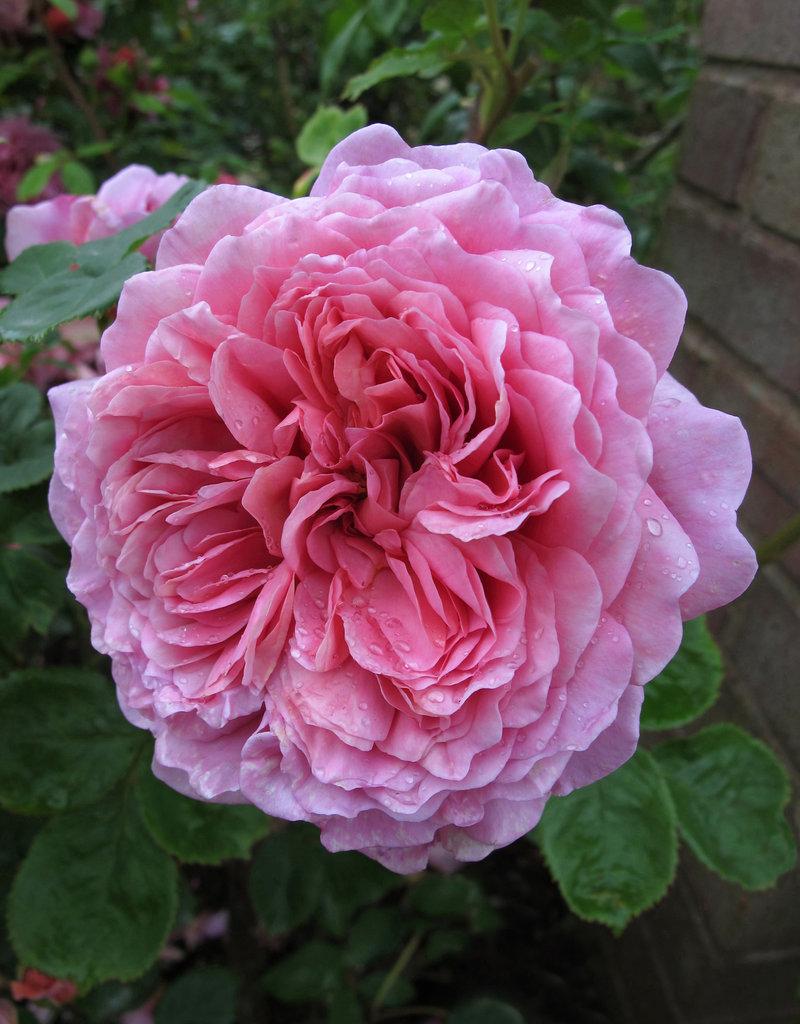 David Austin Princess Alexandra of Kent™ English Rose