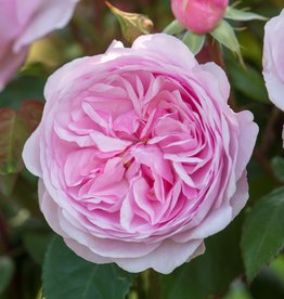 David Austin Olivia Rose Austin™ English Rose
