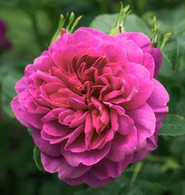 David Austin Princess Anne™ English Rose