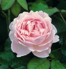David Austin Scepter'd Isle™ English Shrub Rose