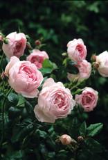 David Austin Scepter'd Isle™ English Rose