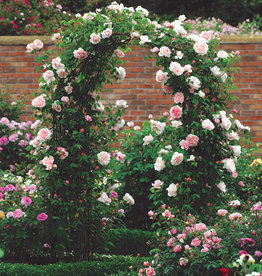 David Austin St. Swithun™ English Climbing Rose