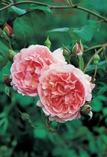 David Austin Strawberry Hill™ English Rose