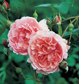 David Austin Strawberry Hill™ English Rose