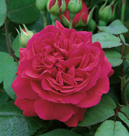 David Austin Tess of the Durbervilles™ English Climbing Rose