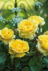 David Austin The Poet's Wife™ English Rose