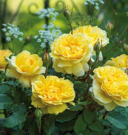 David Austin The Poet's Wife™ English Rose
