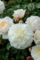 David Austin Tranquillity™ English Rose