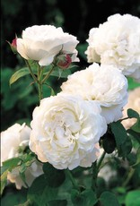 David Austin Winchester Cathedral™ English Rose