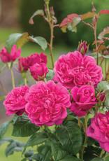 David Austin James L. Austin™ English Rose
