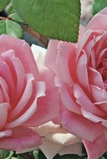 Star Roses Bubble Double™ Shrub Rose