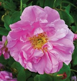 Star Roses Pink Pavement™ Rugosa Rose