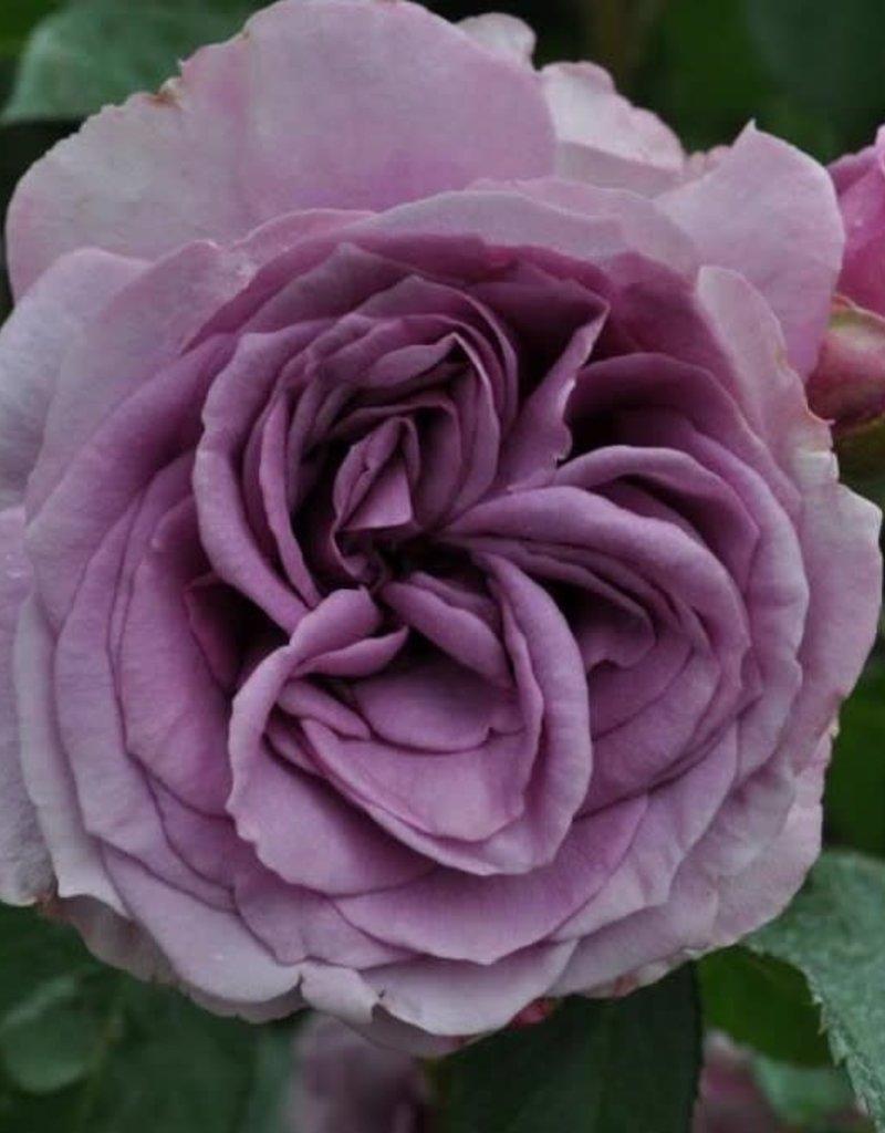 Star Roses Quicksilver™ Arborose® Climbing Rose