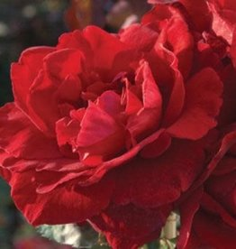 Star Roses Don Juan™ Climbing Rose