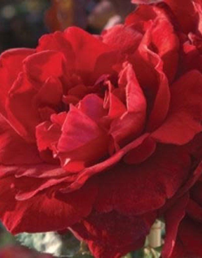 Star Roses Don Juan™ Climbing Rose