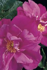 Star Roses Moje Hammarberg™ Rugosa Rose