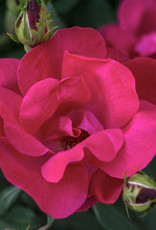 Star Roses Knock Out® Red Shrub Rose
