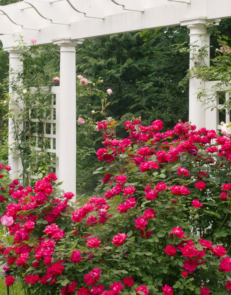 Star Roses Double Knock Out® Red Shrub Rose