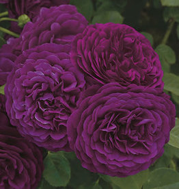 Weeks Roses Twilight Zone™ Grandiflora Rose
