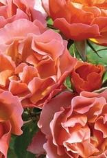 Star Roses Tequila Supreme® Shrub Rose