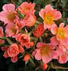 Weeks Roses Sunset Happy Trails™ Groundcover Rose