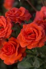 Star Roses Salmon Sunblaze® Mini Patio Rose