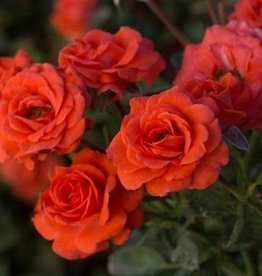 Star Roses Salmon Sunblaze® Mini Patio Rose