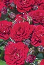 Star Roses Red Sunblaze® Mini Patio Rose