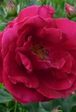 Star Roses Cuthbert Grant™ Landscape Shrub Rose