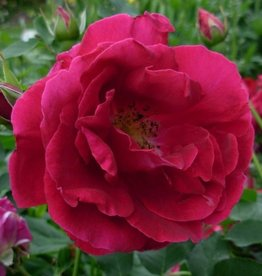 Star Roses Cuthbert Grant™ Landscape Shrub Rose