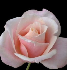 Star Roses Mother of Pearl™ Grandiflora Shrub Rose