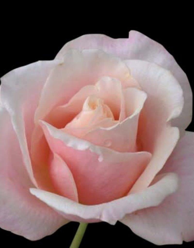 Star Roses Mother of Pearl™ Grandiflora Shrub Rose