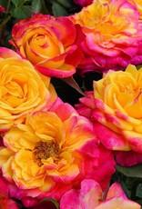 Star Roses Rainbow Sunblaze® Mini Patio Rose