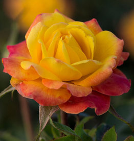 Star Roses Rainbow Sunblaze® Mini Patio Rose