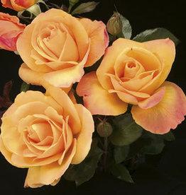 Weeks Roses Strike It Rich® Grandiflora Rose