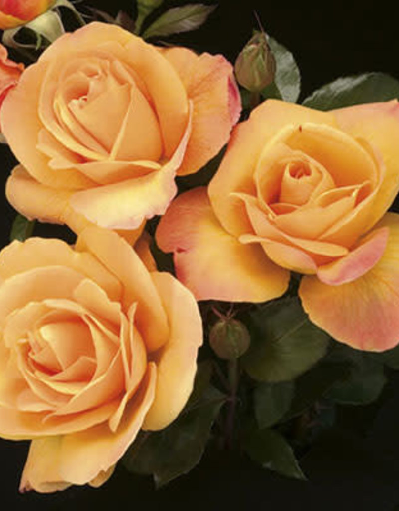 Weeks Roses Strike It Rich® Grandiflora Rose