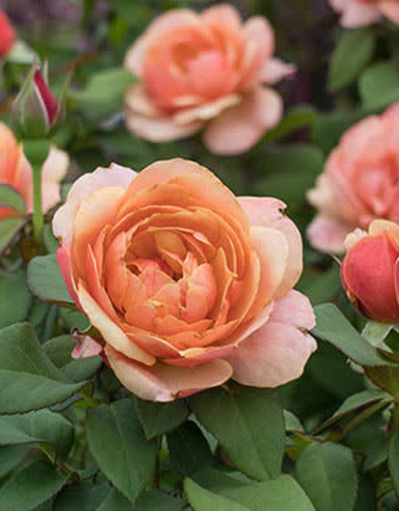 Weeks Roses State of Grace™ Grandiflora Rose