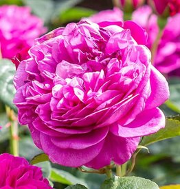 David Austin James L. Austin™ English Rose