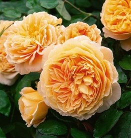 David Austin Crown Princess Margareta™ English Climbing Rose