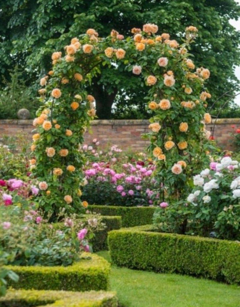 David Austin Crown Princess Margareta™ English Climbing Rose