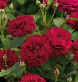 David Austin Darcey Bussell™ English Shrub Rose