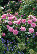 David Austin Brother Cadfael™ English Shrub Rose