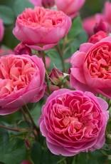 David Austin Boscobel™ English Shrub Rose