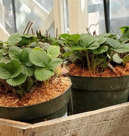 Norcal Nursery Albion Strawberries (25 bare root plant bundle)