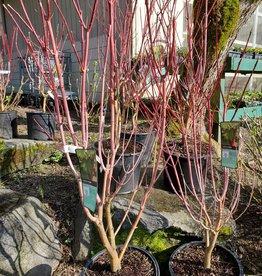 J. Frank Schmidt Acer circinatum 'Pacific Fire'  #7