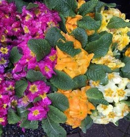 Squak Mtn Primroses: 1 Flat (18 Ct) Grower's Choice on Colors