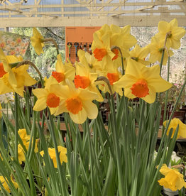 """Squak Mtn Narcissus (Daffodils): One Dozen 4"""" Pots - Grower's Choice on Colors"""